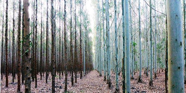 Illustration eucalyptus diseased vs healthy case study