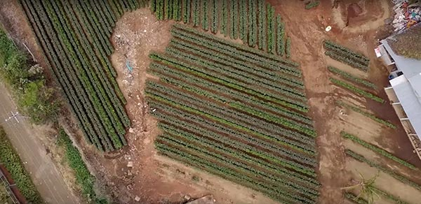 Avocado nurseries use the natural irrigation of the land to produce fruit